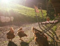 Sommer Hennen.jpg